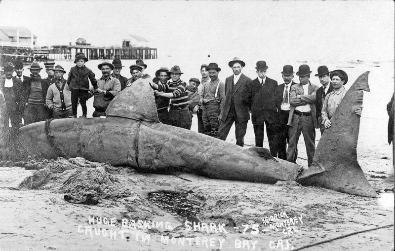 Basking Shark on the Beach circa 1906 (2)